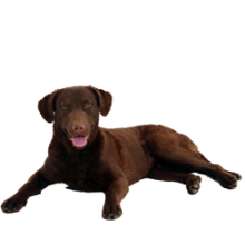 Bay Retriever